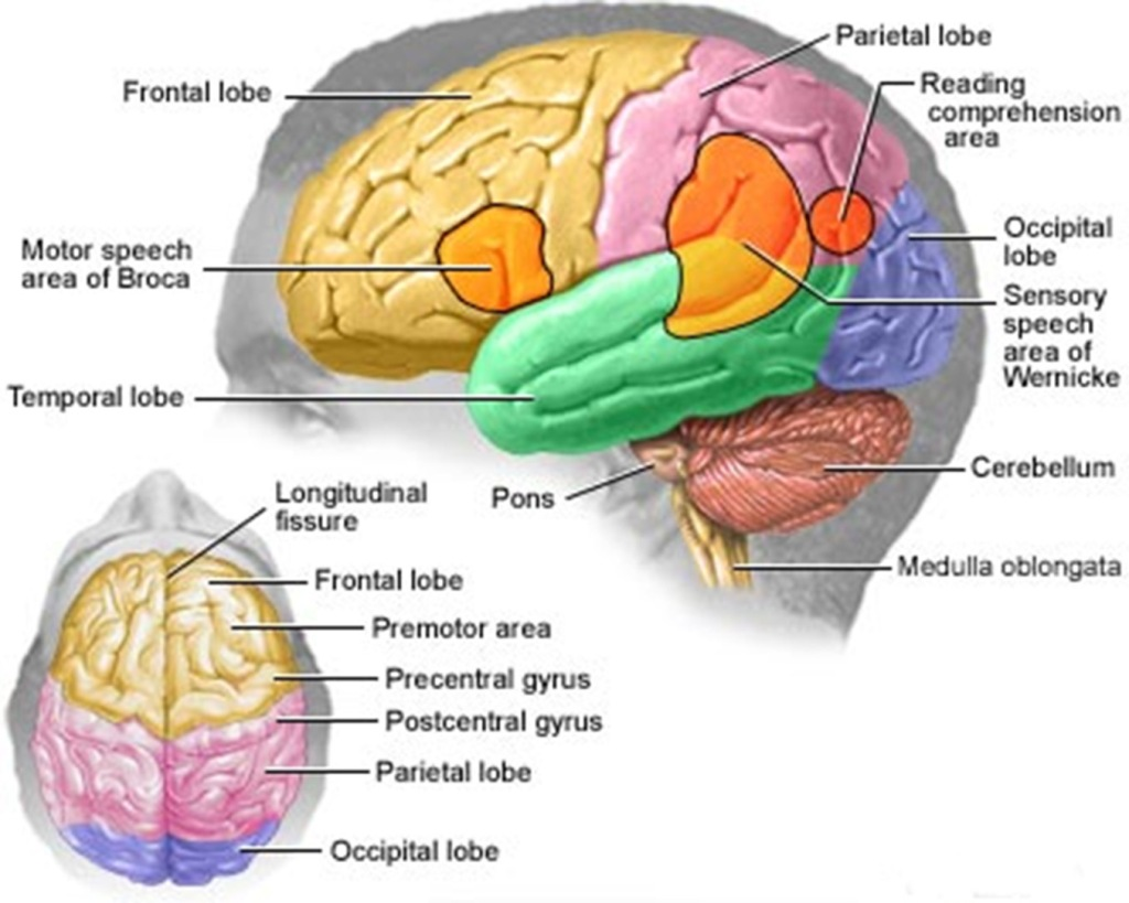 Black Head with Labeled Brain